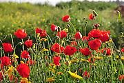 Israeli wildflowers - Red Corn Poppy (Papaver subpiriforme) and Crown Daisy (Chrysanthemum coronarium)
