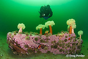 diver examines white-plumed anemones or giant plumose anemones, Metridium farcimen, sea urchins, sea stars, and encrusting algae covering a boulder at Baie des Anglais, off Baie Comeau, Quebec, Canada, St. Lawrence River estuary, MR 372