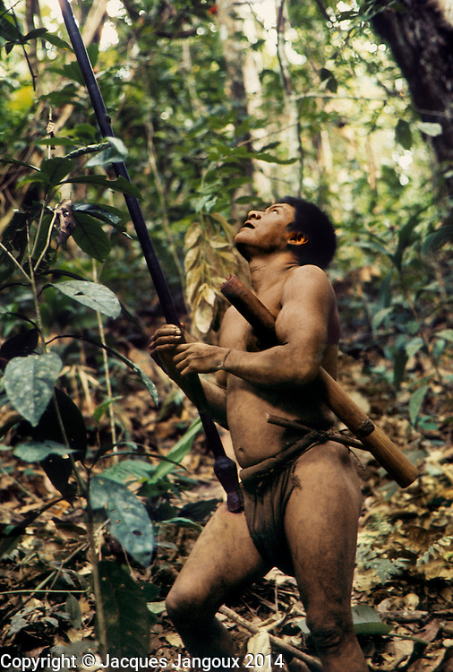 Hoti Indian hunting with blowgun in trainforest, watching a bird in the canopy; South America, Venezuela, Guiana Highlands.