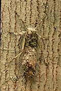 Katydid; camouflaged on bark; Indonesia, Borneo, W. Kalimantan, Bentuang-Karimun National Park