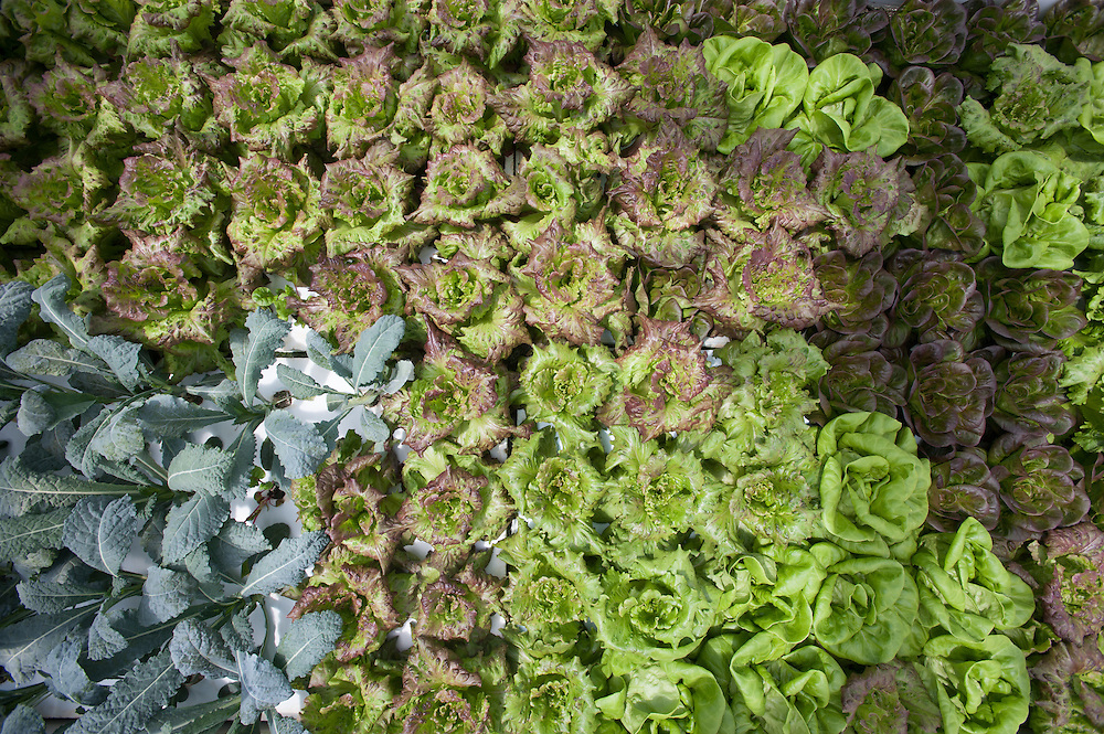 Hydroponic Lettuce in greenhouse