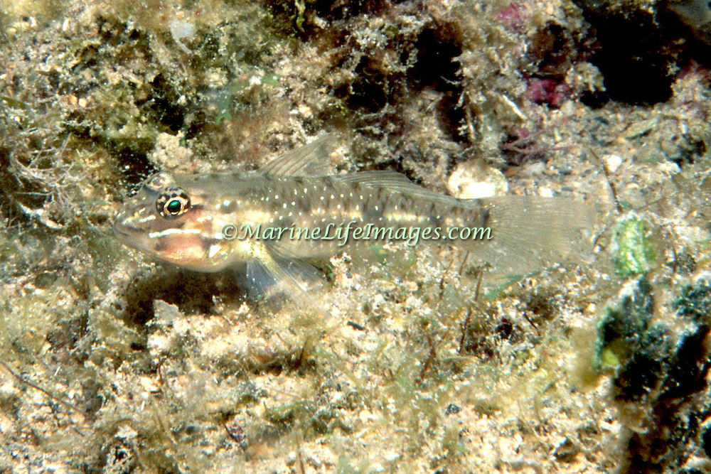 Patch-Reef Goby inhabit mid-range clearwater areas of sand near patch reefs in Tropical West Atlantic; picture taken Grand Cayman.