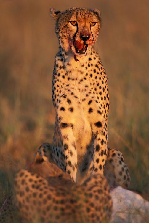 Kenya, Masai Mara Game Reserve, Blood covers Cheetah (Acinonyx jubatas) feeding on Thomson's Gazelle (Gazella thomsonii) at dawn