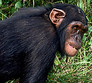 Chimpanzee in Sweetwaters Chimpanzee Sanctuary; Kenya