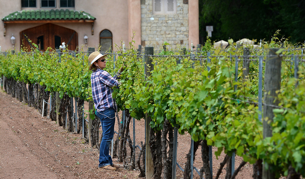 jt051817b/ a sec/jim thompson/ Carrie Gurule, Assistant Wine Maker for Casa Rondeñia checks out the Riesling grapes on the Estate in the North Valley. Thursday May. 18, 2017. (Jim Thompson/Albuquerque Journal)