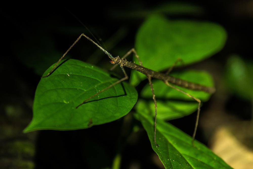A walking branch sits on top of a leaf, Yasuni Reserve, Ecuador.