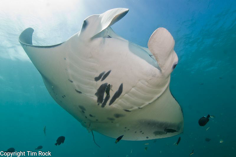 Yap Island, Micronesia with snorkeling, manta rays, sharks, coral reef life and beautiful culture. Nice beaches and reefs and friendly people make the island a pleasure to visit. Manta Ray Bay Hotel is the premiere hotel on the island.