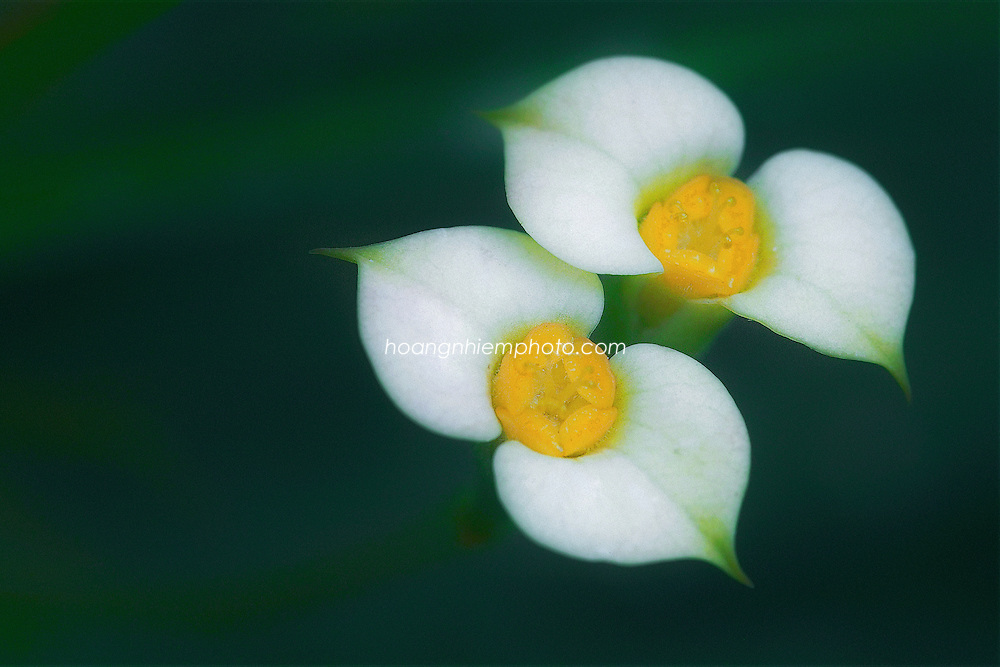 Vietnam Images-Flower-nature. -Hoàng thế Nhiệm