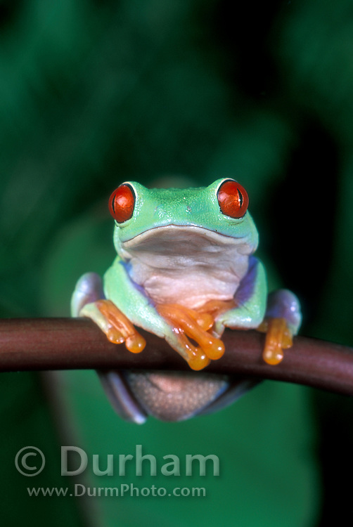 A red-eyed treefrog (Agalychnis callidryas) perched on a tropical plant. Range: tropical rainforests southern Mexico to Pananma.
