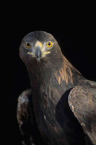 Golden Eagle, (Aquila chrysaetos)  Portrait. Captive Animal.