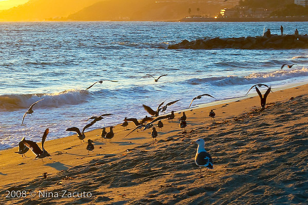 Sea birds bathing in late afternoon sun on the Santa Monica beach.