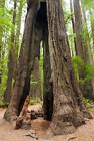 Hollowed Out Redwood Tree in Founder's Grove, Humboldt Redwoods State Park, California