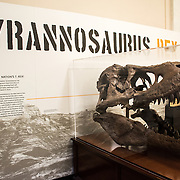 A skull of a Tyrannosaurus Rex on display at the Smithsonian National Museum of Natural History on the National Mall in Washington DC.