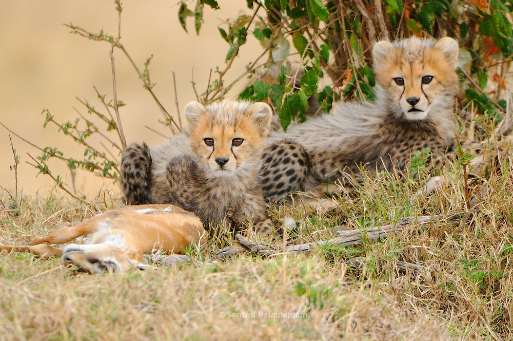 Cheetah (Acinonyx jubatus) is a vulnerable cat/feline (Felidae), highly  specialized for speed. These 3-month old cubs are with a fawn kill.