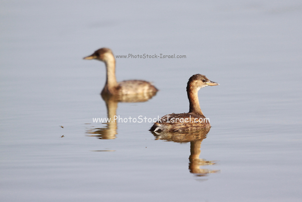 Little Grebe (Tachybaptus ruficollis) in a pond, Photographed in Israel in September