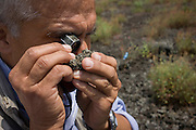 Giuseppe Mastrolorenzo, volcanologist with the Osservatorio Vesuviano and leading authority on local geology and civil evacuation plans, inspects lava rock on the slopes of the dormant Vesuvius volcano, Italy.