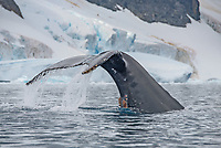 Humpback whale fluke in Port Charcot in the Wilhelm Archipelago of Antarctica.