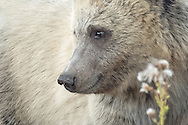 The grizzly cub, known as Snow, is now nearing her second year.  She was given this fitting nickname due to her blonde coat, which makes her stand apart from the many dark colored grizzlies in Yellowstone.