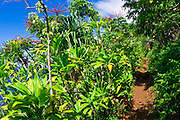 Lush vegetation along the Kalalau Trail, Na Pali Coast, Island of Kauai, Hawaii