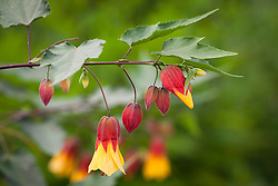 Abutilon 'Kentish Belle'  AGM