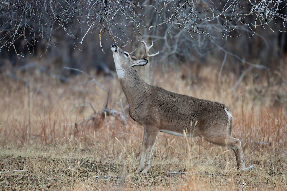 Whitetail buck working scrape in Wyoming during the autumn rut