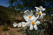 Crested pricklepoppies (Argemone platycerus) grow in the foothills of the Santa Rita Mountains of the Coronado National Forest in the Sonoran Desert north of Sonoita, Arizona, USA