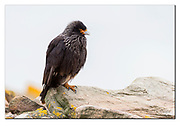 Striated caracara  from Saunders Island, the Falklands. Nikon D500, 200-400mm @ 340mm (510 mm in full frame), f4.5, EV +1.67, 1/1600 sec, ISO500, aperture priority
