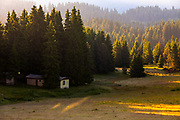 Alpine meadow by a pine forest