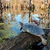 River Cooter basking on a log in Merchants Millpond State Park.  North Carolina