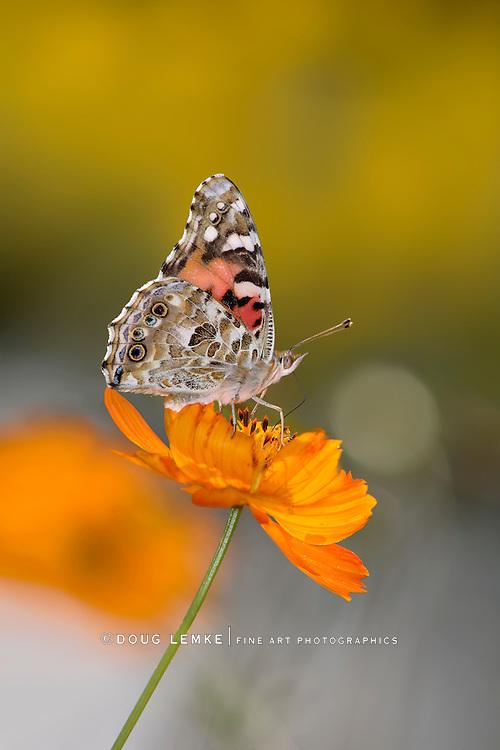 Butterfly On An Orange Flower, American Painted Lady, Vanessa virginiensis