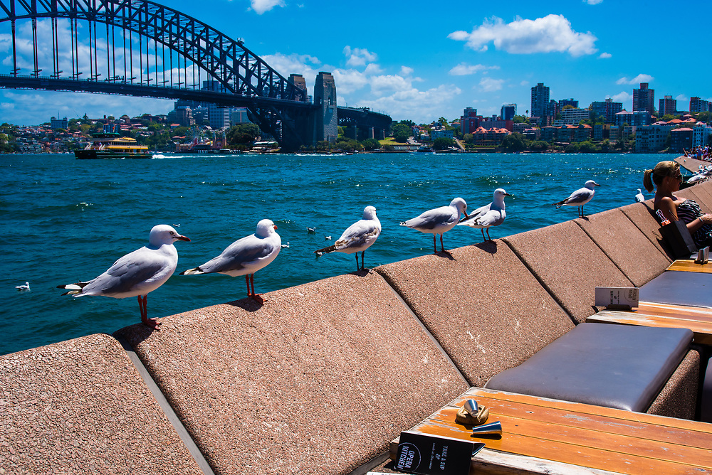 Sydney, Australia -- February 17, 2018. Seagulls sitting atop outdoor restaurant seatbacks with the Sydney harbor and bridge in the background. Editorial use only.