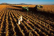 MEXICO, AGRICULTURE, CHIHUAHUA Mennonite family harvesting corn, progressive farming and religious community near Cuauhtemoc