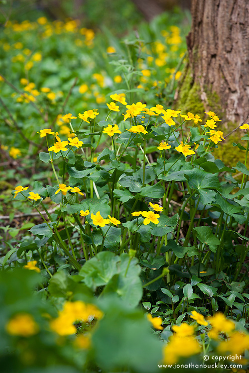 Kingcups growing in a wet area of woods in Kent. Marsh Marigolds. Caltha palustris