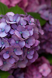 perfect purple hydrangea