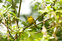 A male Wilsons Warbler a yellow feathered bird with a black cap on its head.
