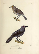 hand coloured sketch Top: Plain-winged Antshrike (Thamnophilus schistaceus [Here as Tamnophilus fuliginosus]) Bottom: White-backed Fire-eye (Pyriglena leuconota [Here as Tamnophilus aterrinus]) From the book 'Voyage dans l'Amérique Méridionale' [Journey to South America: (Brazil, the eastern republic of Uruguay, the Argentine Republic, Patagonia, the republic of Chile, the republic of Bolivia, the republic of Peru), executed during the years 1826 - 1833] 4th volume Part 3 By: Orbigny, Alcide Dessalines d', d'Orbigny, 1802-1857; Montagne, Jean François Camille, 1784-1866; Martius, Karl Friedrich Philipp von, 1794-1868 Published Paris :Chez Pitois-Levrault et c.e ... ;1835-1847