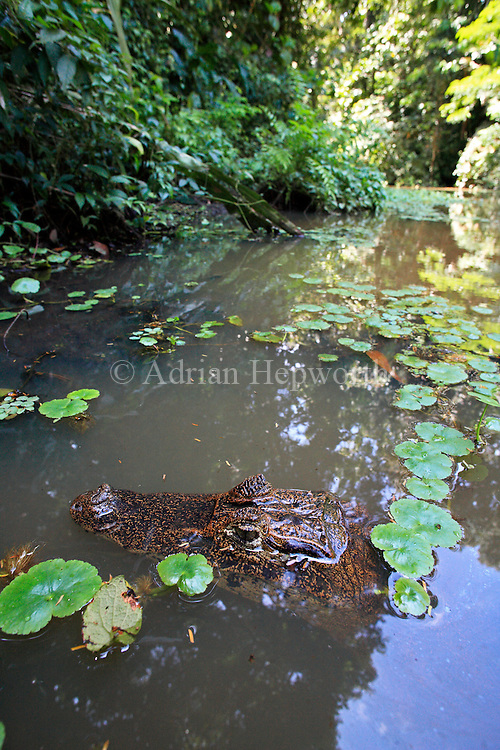 Spectacled Caiman (Caiman crocodilus) in natural rainforest canal, Tortuguero National Park, Costa Rica. <br />