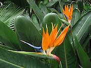 Bird of Paradise flower and leaves in the Volunteer Park Conservatory, Seattle, Washington. Strelitzia reginae is a monocotyledonous flowering plant indigenous to South Africa. Common names include Strelitzia, Crane Flower or Bird of Paradise, though these names are also collectively applied to other species in the genus Strelitzia. Its scientific name commemorates Queen Charlotte of Mecklenburg-Strelitz, wife of King George III.