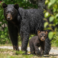 A female American black bear (Ursus americanus) and her young cub, Nova Scotia, Canada. July 2018.