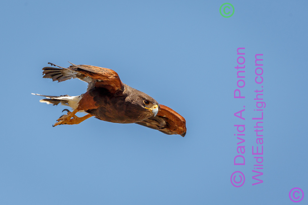 Harris's hawk in fast shallow dive with wings pulled in, blue sky background, adult plumage. © 2012 David A. Ponton