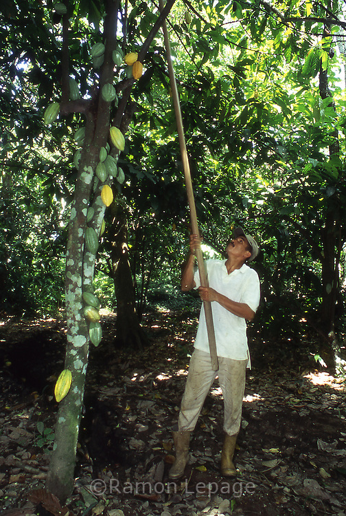 Cultivo del Cacao. El Cacao se cultiva en árboles llamados cacaoteros, que producen entre 10 y 15 mazorcas  de cacao. En el interior de estos frutos  está una semilla que es indispensable  para la creacion del chocolate. 2001. (Ramón Lepage / Orinoquiaphoto)  The Cocoa cultivates in trees called cacaoteros, which produce 10 to 15 cobs of cocoa. These fruits have a seed that is indispensable for the creation of the chocolat.  2001  (Ramón Lepage / Orinoquiaphoto)