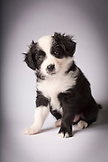 A mixed breed border collie and australian shepherd at 9 weeks old.