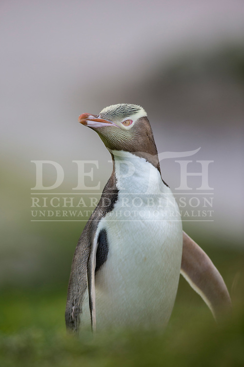 Megadyptes antipodes (Yellow eyed penguin) at Sandy Bay, Enderby Island, Auckland Islands, New Zealand.<br /> 05 January 2016<br /> Photograph Richard Robinson &copy; 2016