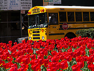 a yellow schoolbus and red tulips on Park Avenue in New York City
