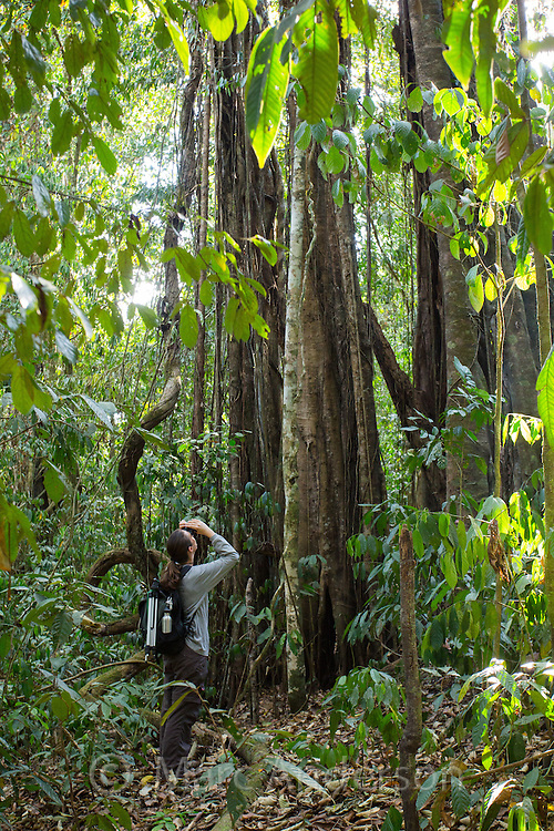 Woman looking up at a tall strangler fig in tropical rainforest in the Danum Valley, Sabah, Malaysia