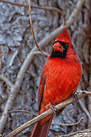 Male Cardinal in New Jersey
