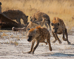 A hyena runs off another of his own while scavenging a giraffe kill (by lions) at Etosha National Park, Namibia