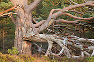 Tangled dead boughs of veteran Scots Pine (Pinus sylvestris), Rothiemurchus Forest, Scotland