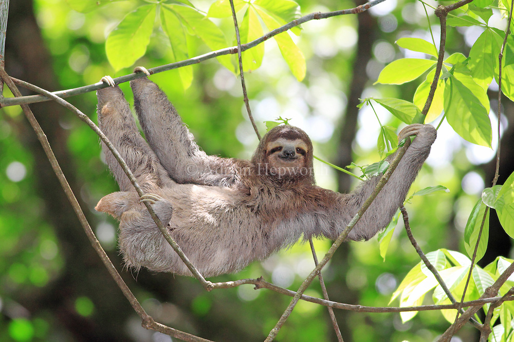 Sloths are tree-dwellers. Living in the forest canopy provides them with all their dietary requirements and also keeps them at a safe distance from most predators. They venture down to the forest floor only when compelled to do so, either to defecate or to move to another tree when there is no route via the canopy. The Three-toed Sloth in this image was slowly moving along lianas between trees in Manuel Antonio National Park and managed to give me a brief &acirc;€œsmile&acirc;€!<br /> <br /> For sizes and pricing click on ADD TO CART (above).