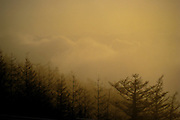 FUJIYAMA, JAPAN, Pine in a yellow Sunset crossing the clouds from the Mount Fuji. May 2008